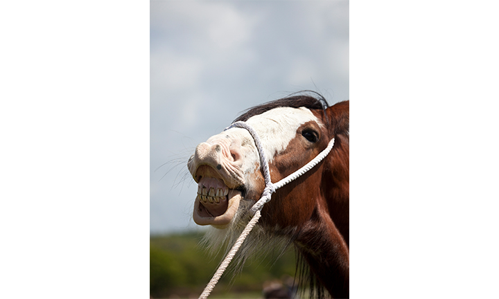 dental-horse-showing-teeth