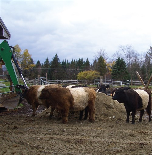 image of belted galloways