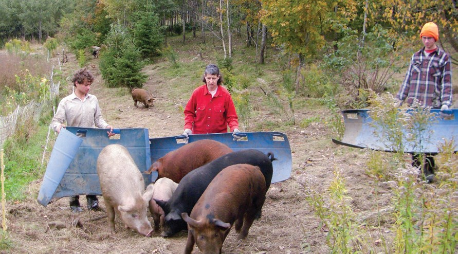 Four young boars herding