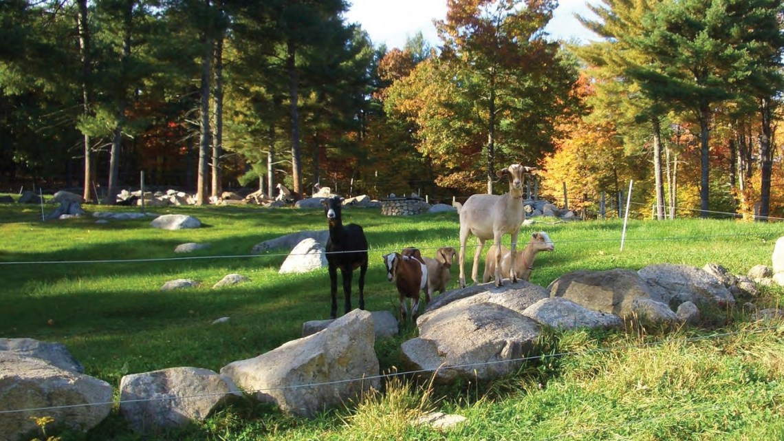 goats-in-a-paddock