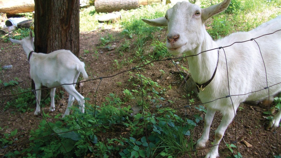 Goats browse on brush and girdle trees. To protect trees from damage by goats and cattle, surround trees with chicken wire