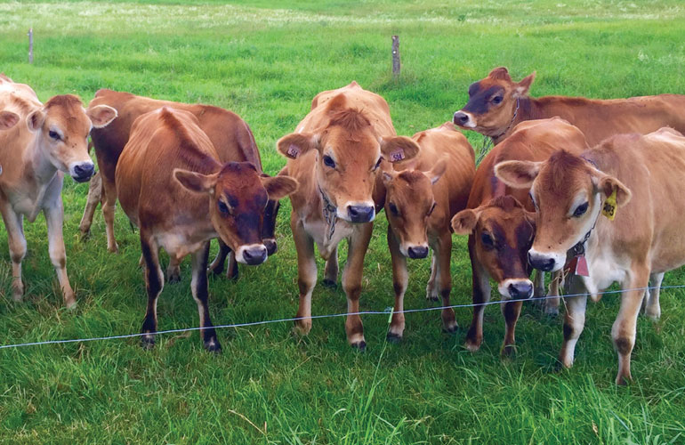 few-calves-standing-in-a-fenced-area