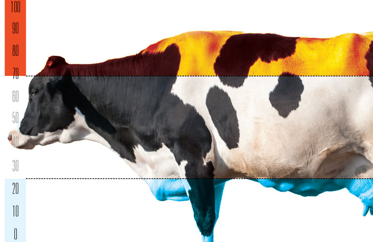 diagram of cow and temperatures