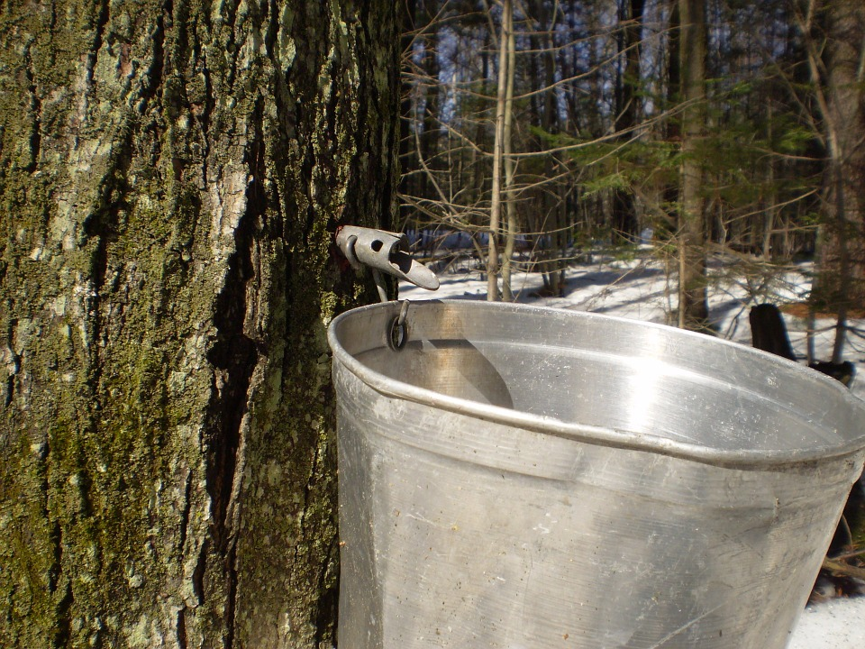 maple-syrup-extraction-from-a-tree