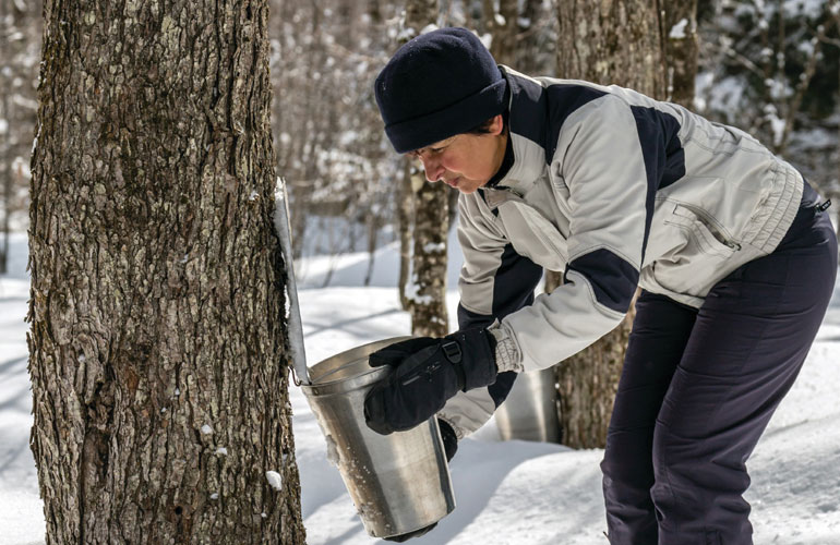 lady-extracting-maple-from-tree