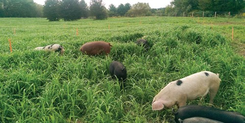 pigs-in-a-pasture
