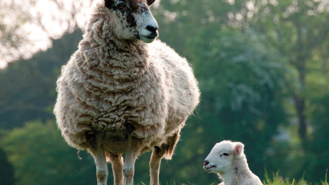 pregnant ewe with her lamb