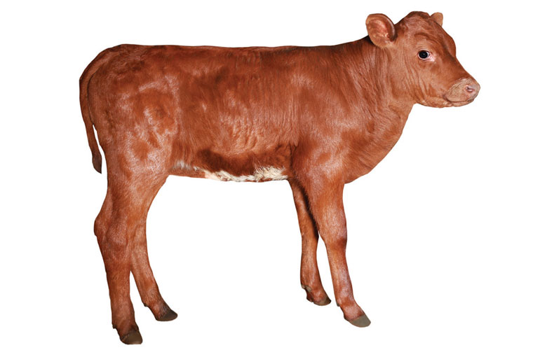 image-of-a-brown-calf