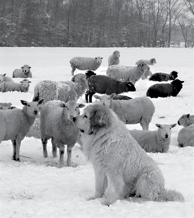 guardian dog with a flock of sheep in the snow