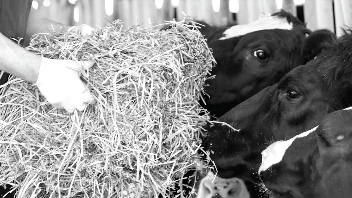 dairy cows eating hay