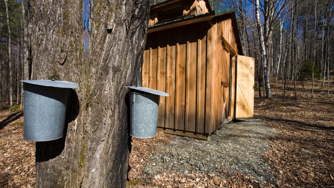 maple trees and a sugar shack