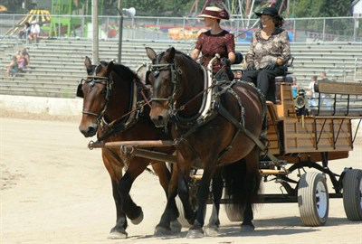 working draft horses